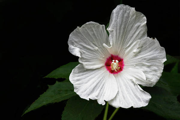 Wall Art - Photograph - Hibiscus Ruby Dot by Marcia Colelli