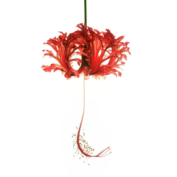 Hibiscus Schizopetalus On White Art Print