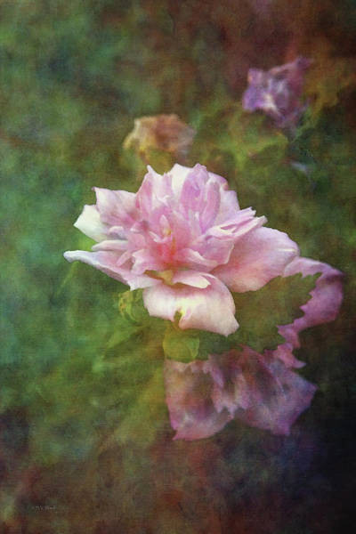 Photograph - Hibiscus Syriacus 2217 Idp_3 by Steven Ward