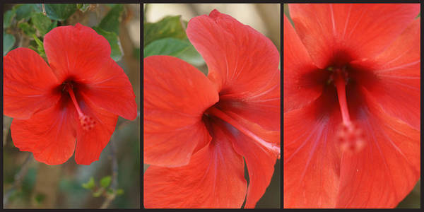 Photograph - Hibiscus Triptych 1 by Dimitry Papkov