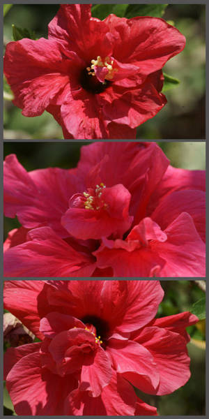 Photograph - Hibiscus Triptych 2 by Dimitry Papkov