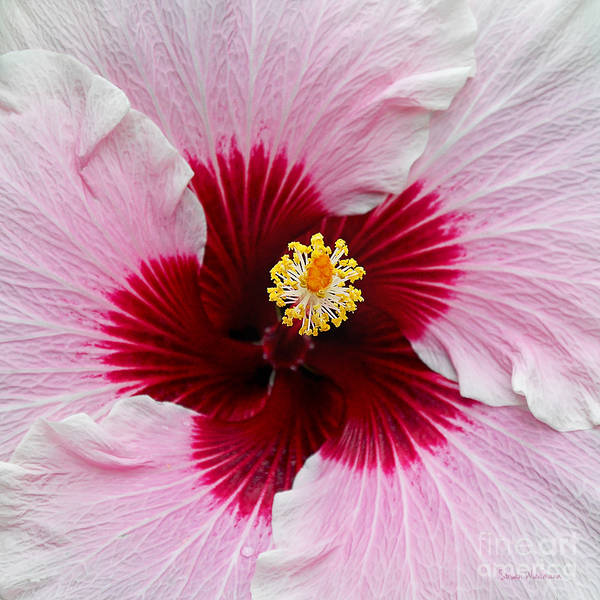 Photograph - Hibiscus With Cherry-red Center by Susan Wiedmann