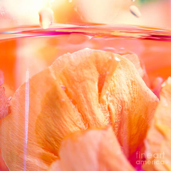 Photograph - Hibiscus Zest by Sharon Mau
