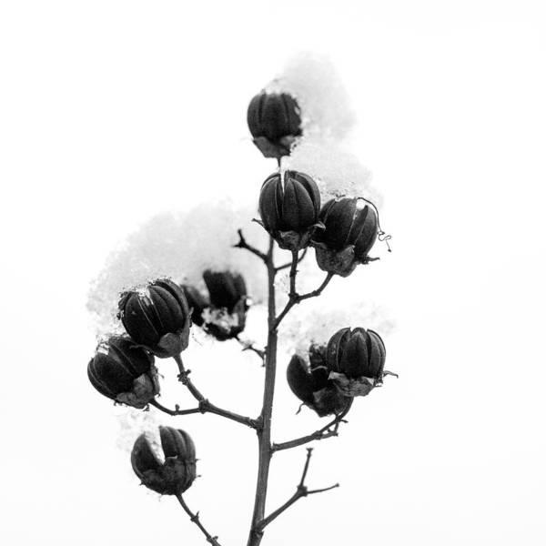 Hickory Tree In Winter Art Print