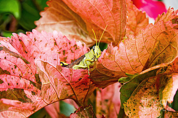 Photograph - Hidden Grasshopper by Andee Design