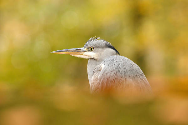 Wildfowl Photograph - Hidden Heron by Roeselien Raimond