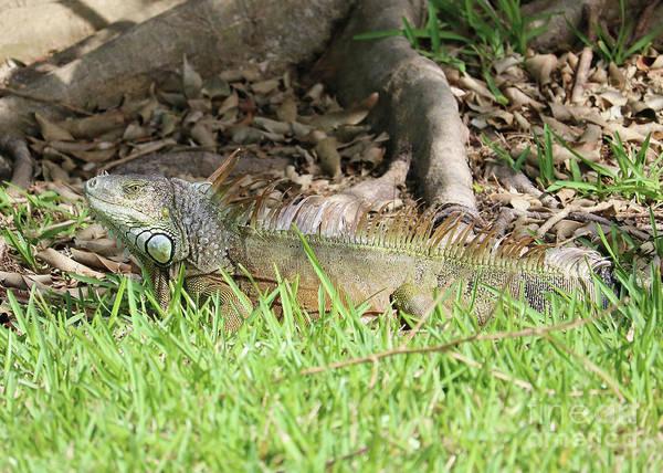 Photograph - Hidden Iguana by Carol Groenen