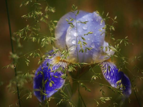 Photograph - Hidden Iris by Barbara St Jean