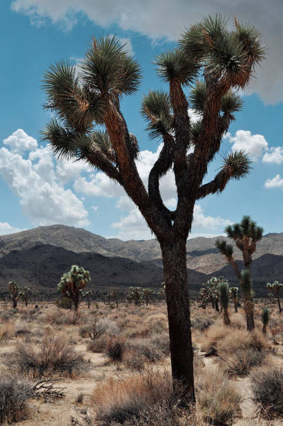 Wall Art - Photograph - Hidden Valley Joshua Tree Portrait by Kyle Hanson