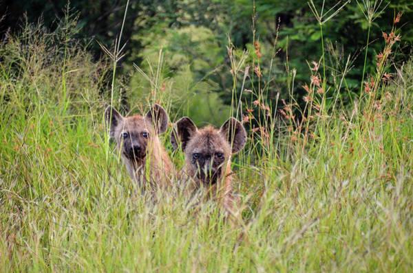 Photograph - Hide-n-seek Hyenas by Gaelyn Olmsted
