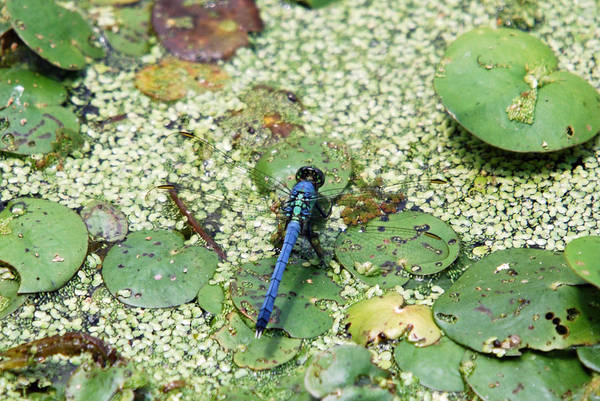 Photograph - Hiding Dragonfly by Teresa Blanton