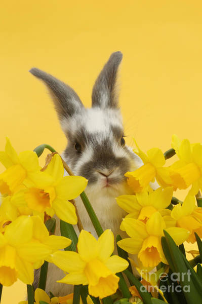 Photograph - Hiding In The Daffodils by Warren Photographic