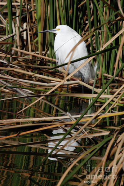 Photograph - Hiding In The Reeds by Deborah Benoit