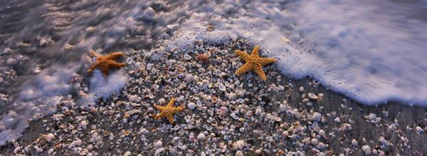 Three Seashells Photograph - High Angle View Of Three Starfish by Panoramic Images