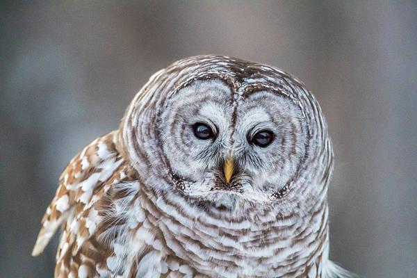 Barred Owl Photograph - High Iso Barred Owl by Paul Freidlund