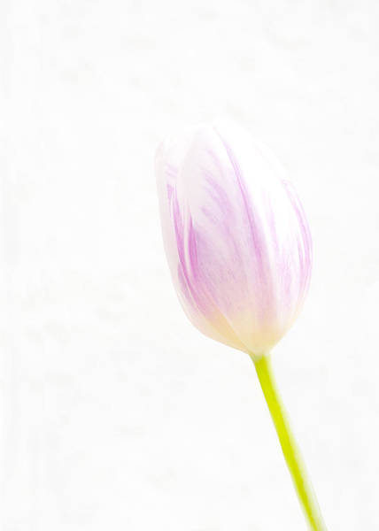 Photograph - High Key Tulip by Richard Reeve