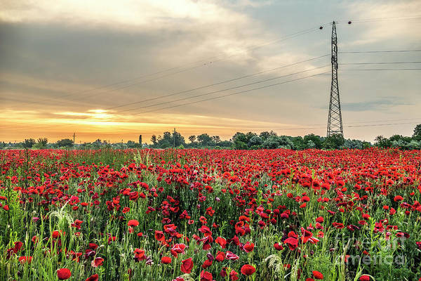 Photograph - High Voltage Poppy Flowers by Odon Czintos