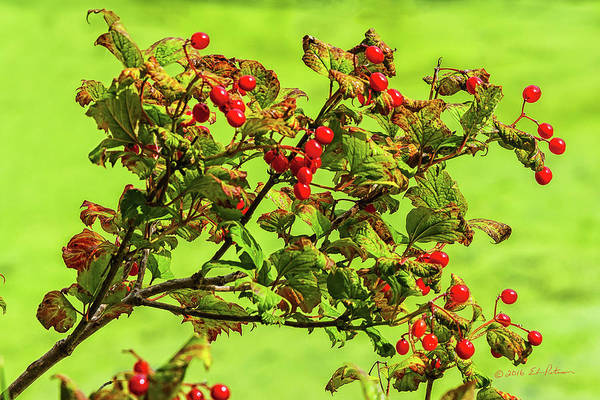 Photograph - Highbush Cranberries by Edward Peterson