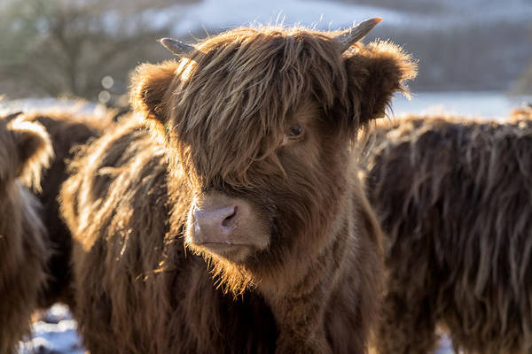 Photograph - Highland Baby Coo by Jeremy Lavender Photography