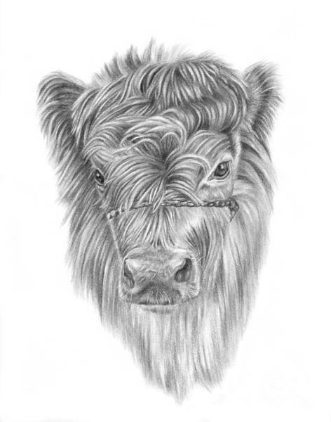 Drawing - Highland Calf by Pencil Paws