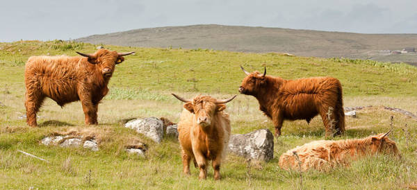 Photograph - Highland Cattle by Colette Panaioti