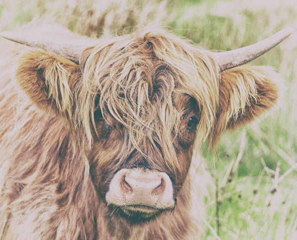 Wall Art - Photograph - Highland Cattle by Martin Newman