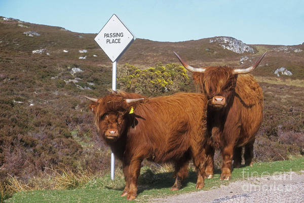 Photograph - Highland Cattle - Passing Place by Phil Banks