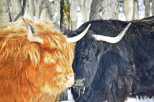 Photograph - Highland Cattle by Russell Todd