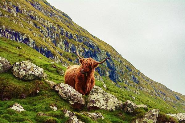 Yak Painting - Highland Cow 2 by Celestial Images