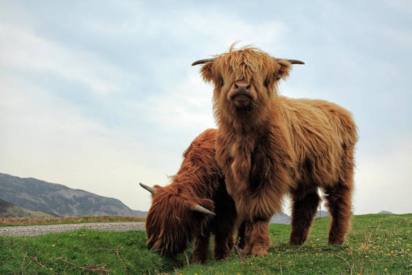 Farmhouse Photograph - Highland Cow Calves by Grant Glendinning