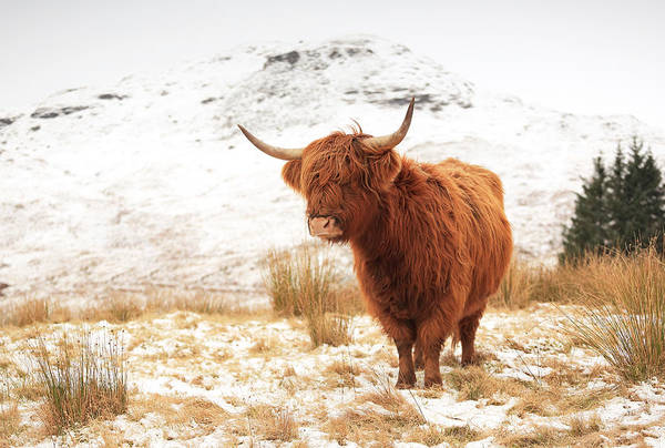 Farmhouse Photograph - Highland Cow by Grant Glendinning