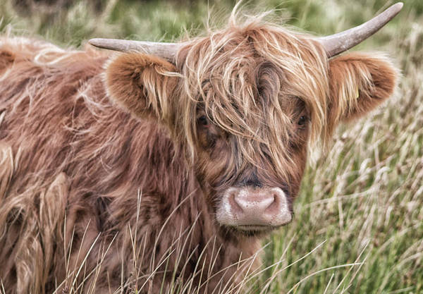 Wall Art - Photograph - Highland Cow by Martin Newman