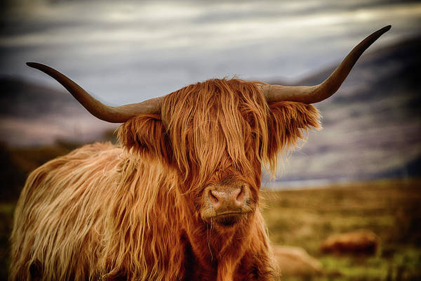Photograph - Highland Cow by Peter OReilly