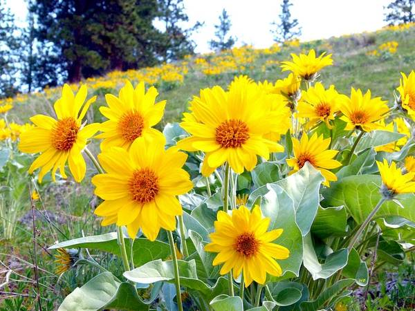Wall Art - Photograph - Highland Sunflowers by Will Borden