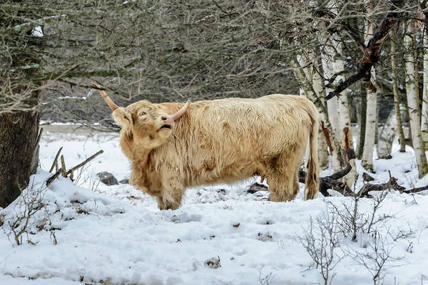 Photograph - Highlander In Winter by Robert Mitchell