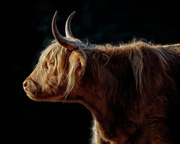 Photograph - Highlander by Wes and Dotty Weber
