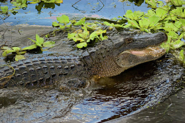 Wall Art - Photograph - Highly Aggressive Alligator by Rich Leighton