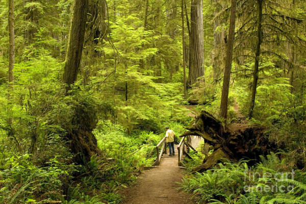 Redwood City Wall Art - Photograph - Hiker In Redwood Forest by Inga Spence
