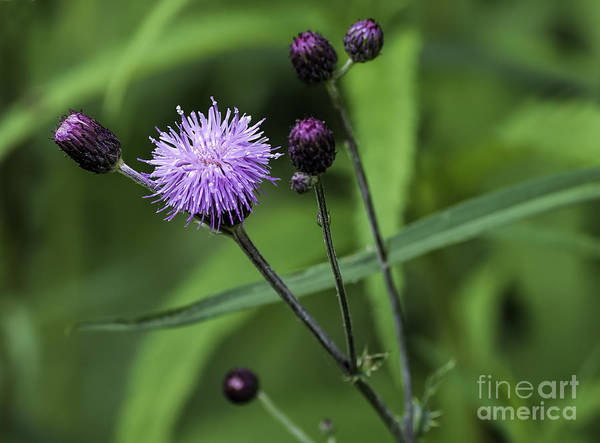 Photograph - Hill's Thistle Flower And Buds by Les Palenik