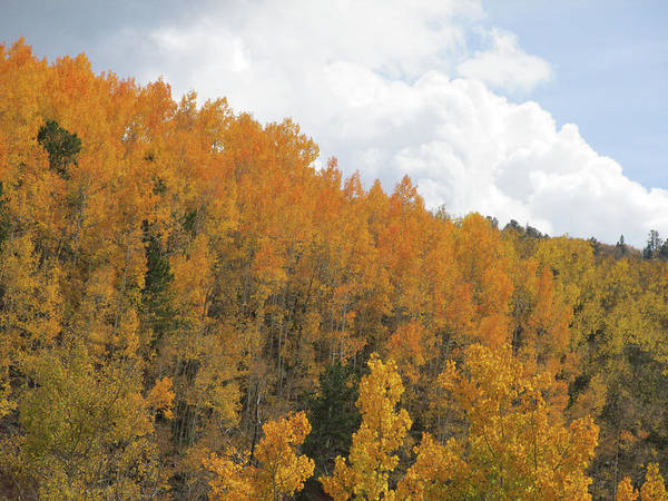 Photograph - Hillside Of Orange Aspens Trees by Julia L Wright