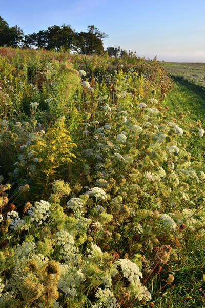 Photograph - Hillside Of Queen Anne's Lace In Glacial Park by Ray Mathis