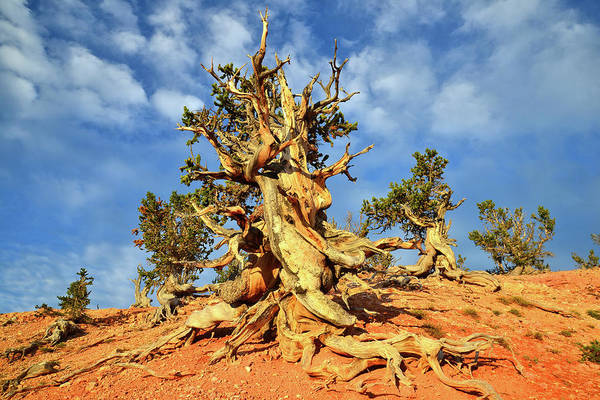 Photograph - Hilltop Bristlecone by Ray Mathis