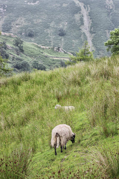 Wall Art - Photograph - Hilly Sheep Farming by Martin Newman
