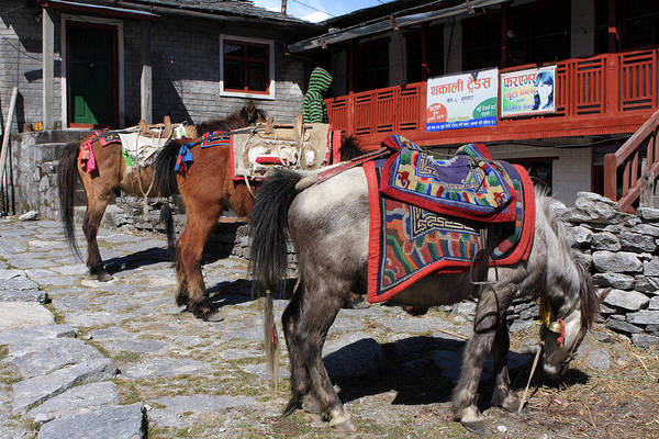 Photograph - Himalayan Horses, Nepal by Aidan Moran