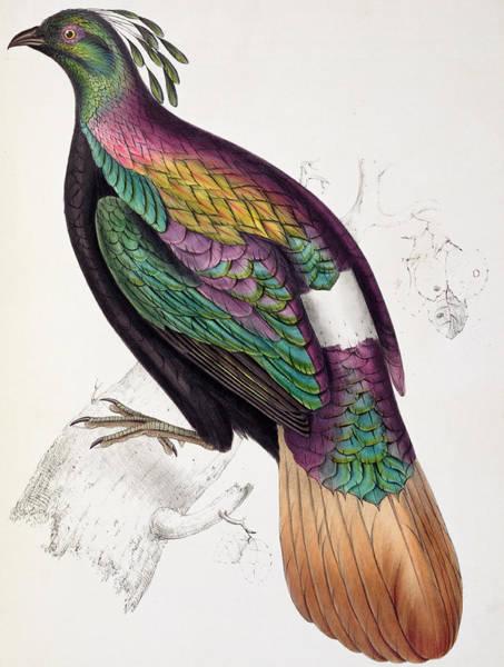 Wall Art - Painting - Himalayan Monal Pheasant by John Gould