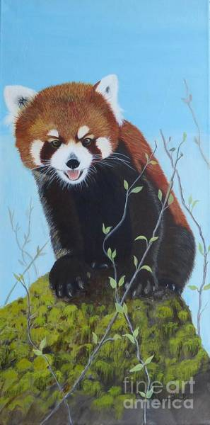 Himalayan Red Panda Art Print