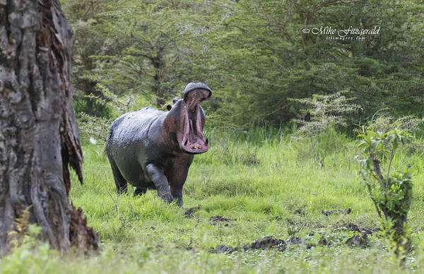 Photograph - Hippo Yawn by Mike Fitzgerald