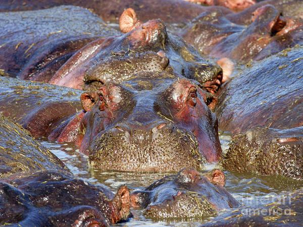 Hippo Photograph - Hippopotamus by Richard Garvey-Williams