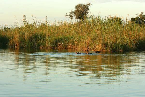 Photograph - Hippos, South Africa by Karen Zuk Rosenblatt