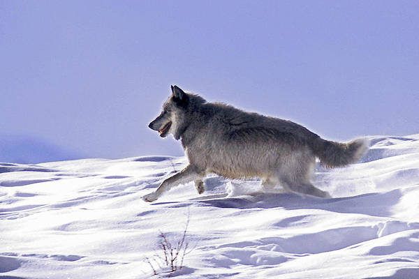 Photograph - His Majesty Wolf 21m by Mark Miller